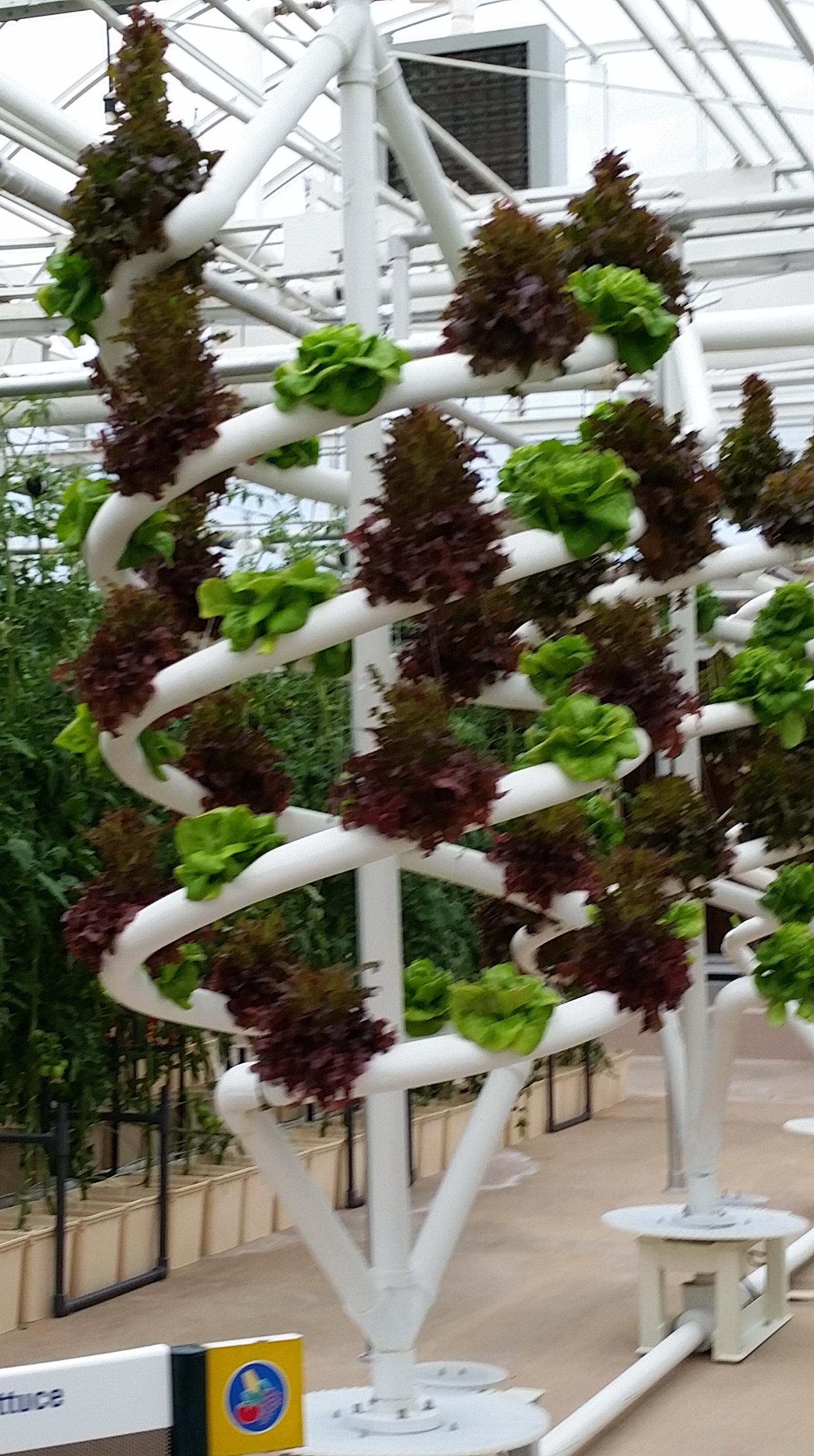 Walt Disney World Epcot exhibit Living with the Land - lettuce shown.