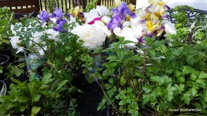 Herbs, Peonies and Iris