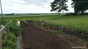 This weekend we replanted peas and reinstalled the pea fence that had been twisted a bit in some earlier storm winds.