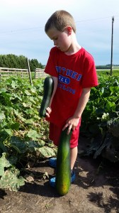 The zucchini grows super fast in the weather we had this week.
