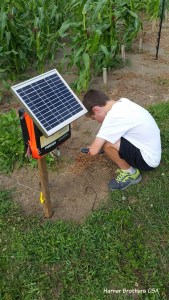 This weekend, we put up the electric fence around the sweetcorn to protect it from curious creatures like raccoons. The fencing is powered by a solar panel.