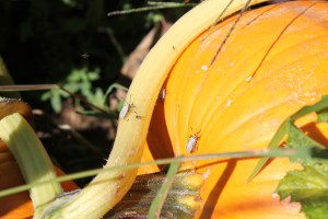 Squash bugs are appearing in great numbers. We will be monitoring them and whether we will need to an insecticide to control them from damaging the pumpkins and squash. Learn morehttp://www.extension.umn.edu/garden/insects/find/squash-bugs/