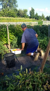 Plenty of tomatoes to harvest.