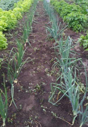 Weeded onion rows