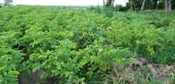 The potato crop growing.