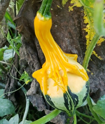 The gourd vines love growing on other plants.