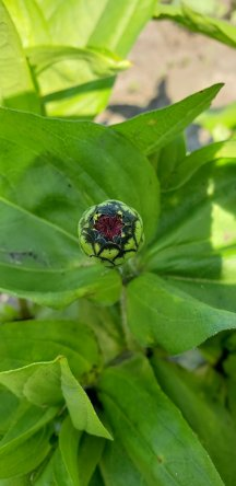 A Zinnia bud on the verge of opening