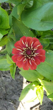 Zinnias offer such beautiful colors.