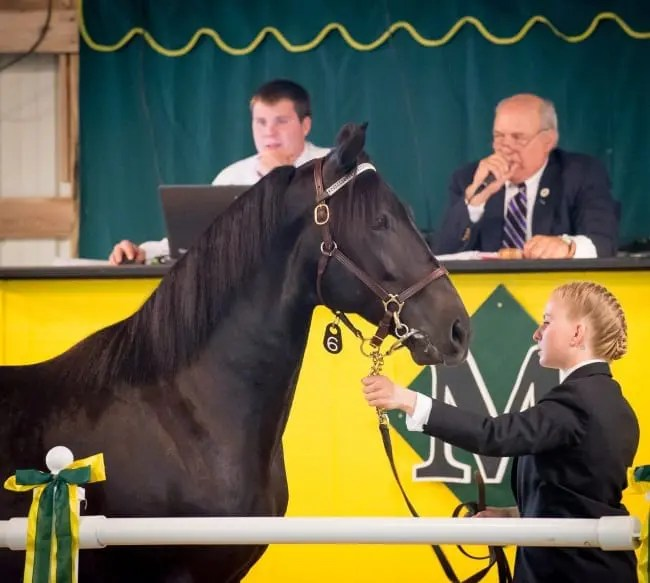 The Morrisville Yearling Sale supports the equine program at Morrisville State College   Courtesy Morrisville