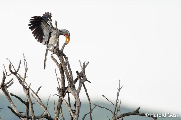 Southern Yellow-billed Hornbill, Tockus leucomelas, Leeupoort Limpopo