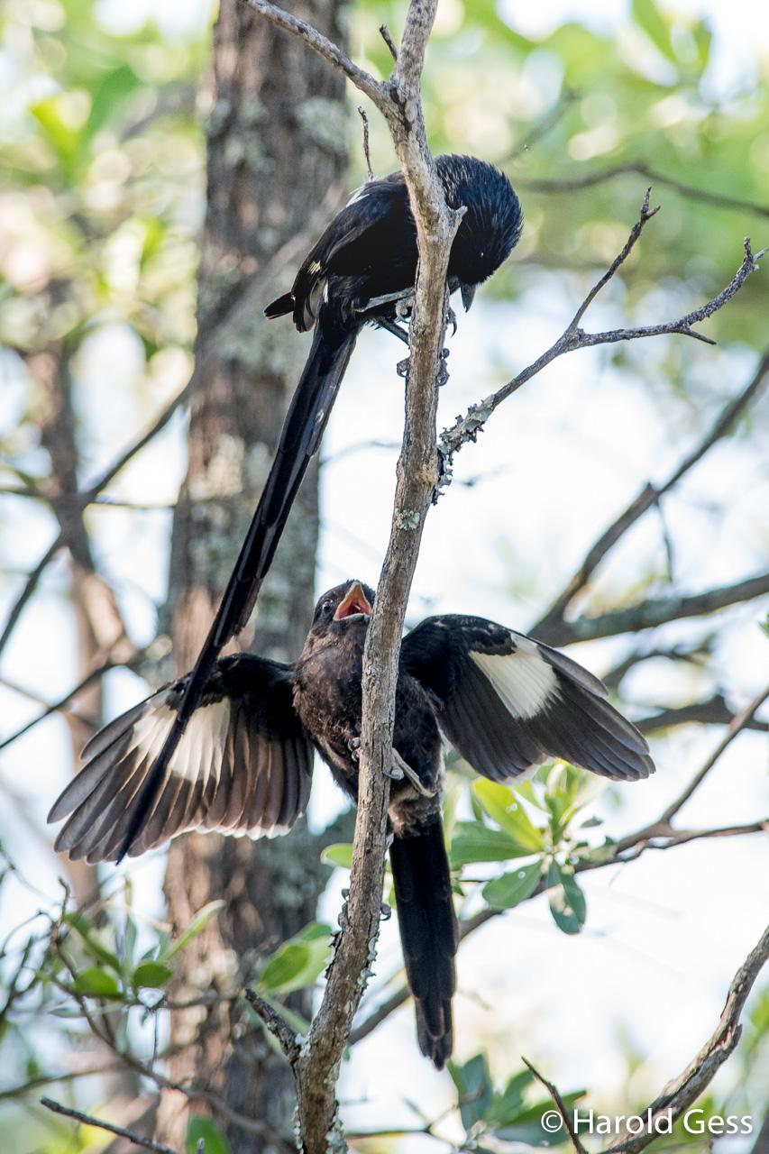 Magpie Shrikes, Urolestes melanoleucus, Leeupoort, Limpopo