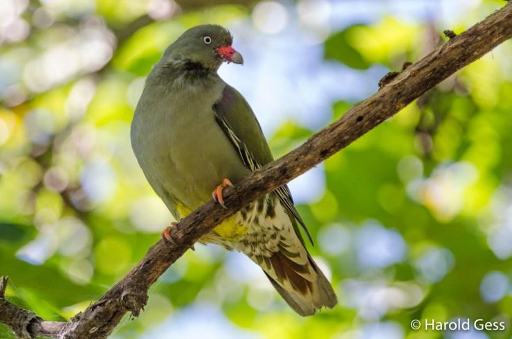 African Green Pigeon, Treron calvus, Grahamstown, Eastern Cape