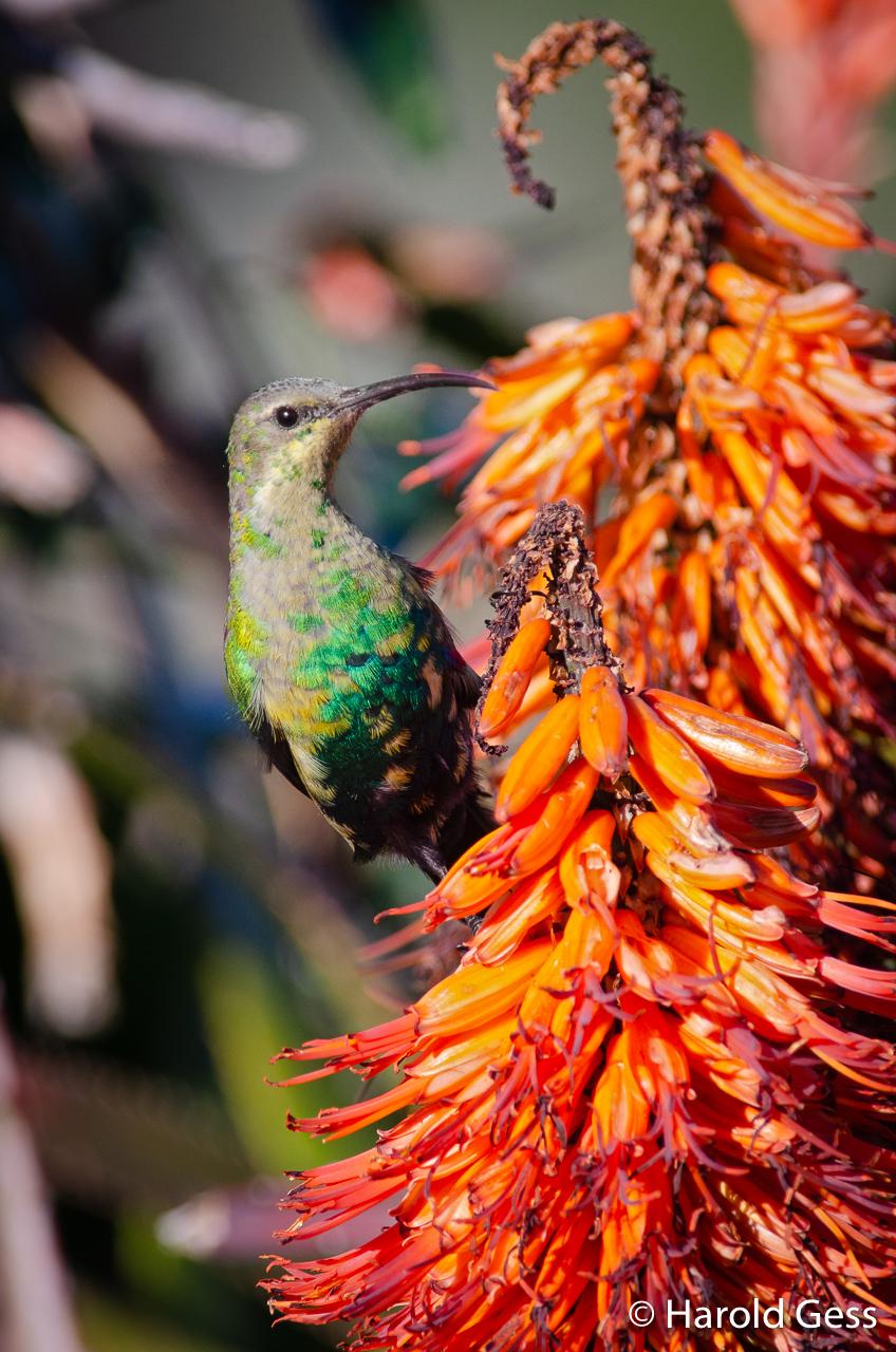 Malachite Sunbird, Nectarinia famosa, male, Grahamstown, South Africa