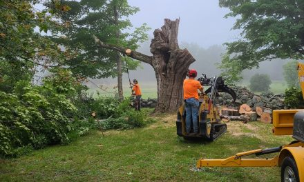 200-year-old sugar maple comes down