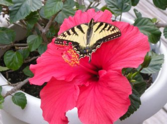 butterfly on hibiscus
