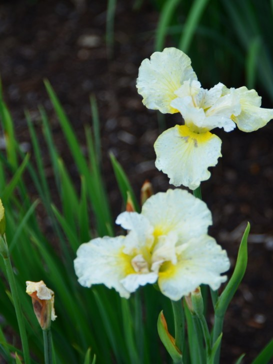 Iris at Eartheart Gardens, June 2015
