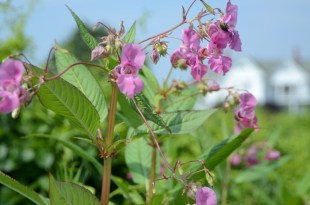 Himalaya Balsam (Touch Me Not)