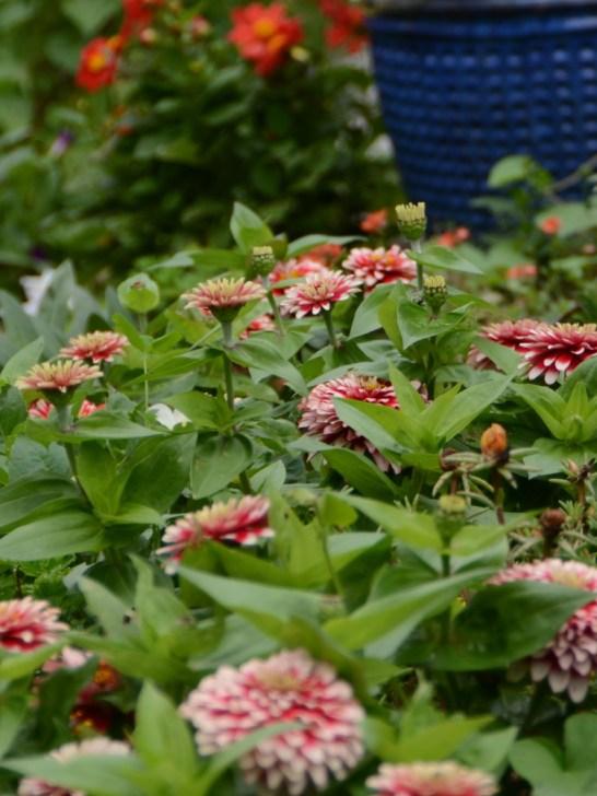 Zinnias in Liz Bouve's garden