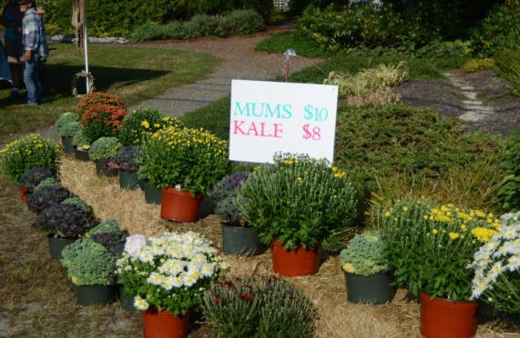 Mums and Kale for Sale