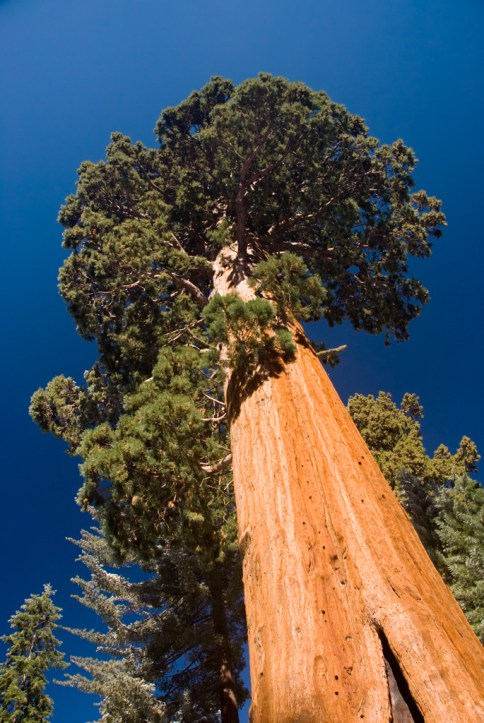 Big Tree at Sequoia
