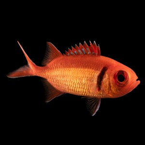 Black Barred Soldier fish (Small)