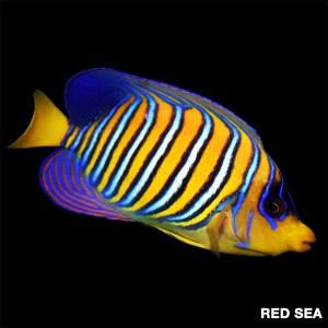 Regal Angelfish – EXPERT ONLY