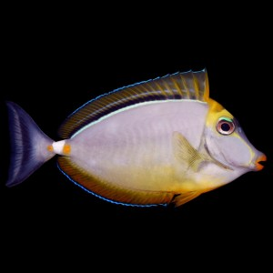 Blonde Naso Tang (Now Available)
