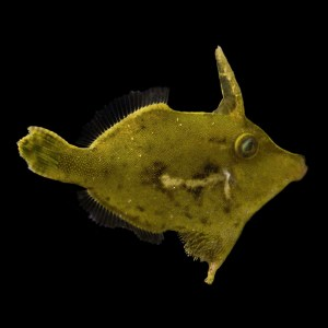 Aiptasia Eating Filefish