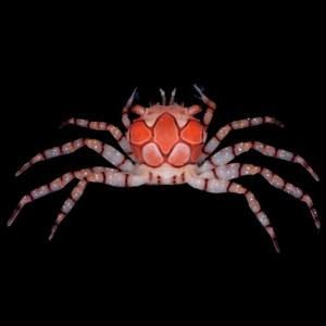 Pom Pom Boxing Crab