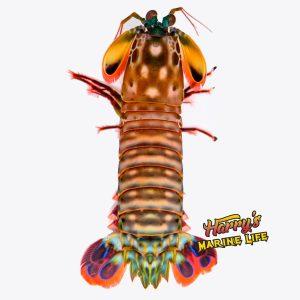 Peacock Mantis Shrimp – Female
