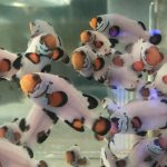 Flurry Clownfish