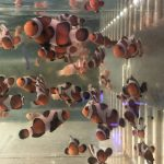 Premium Caramel Gladiator Clownfish
