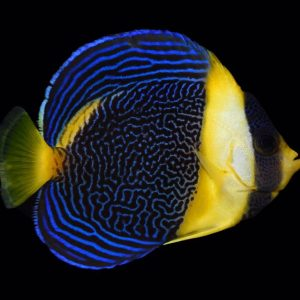 Scribbled Angelfish – Expert Only