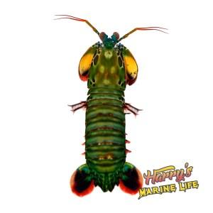 Peacock Mantis Shrimp -Male