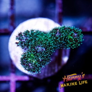 HML Forest Green Pocillopora #2