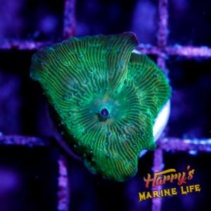 HML Green Diamond Disco #2