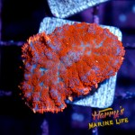 HML Ultra Red-Orange Rhodactis