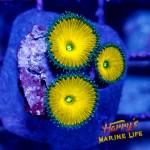 HML Ultra Mustard Yellow Palys