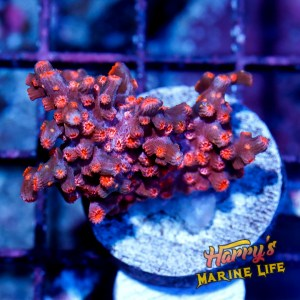 HML Red Branching Cyphastrea