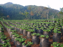 Strawberry field - 2