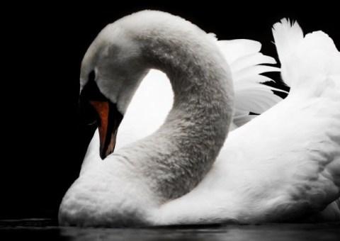 White swan on black background