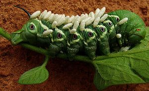 Tomato-Hornworm with cocoons