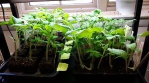 seedlings ready for transplant