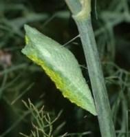 black swollowtail chrys