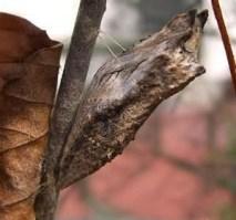 black swollowtail chrys winter