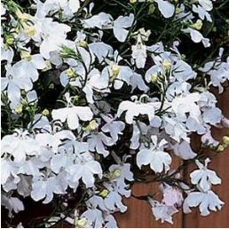Lobelia Regatta White