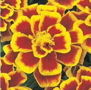 Marigold Durango Bee