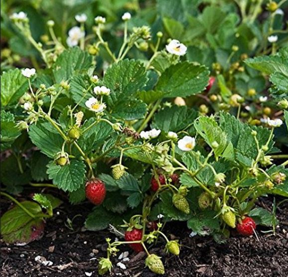 Alpine Strawberry Temptation