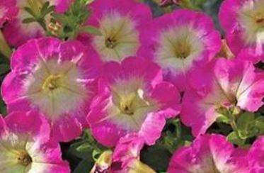 Petunia Picobella Rose Morn