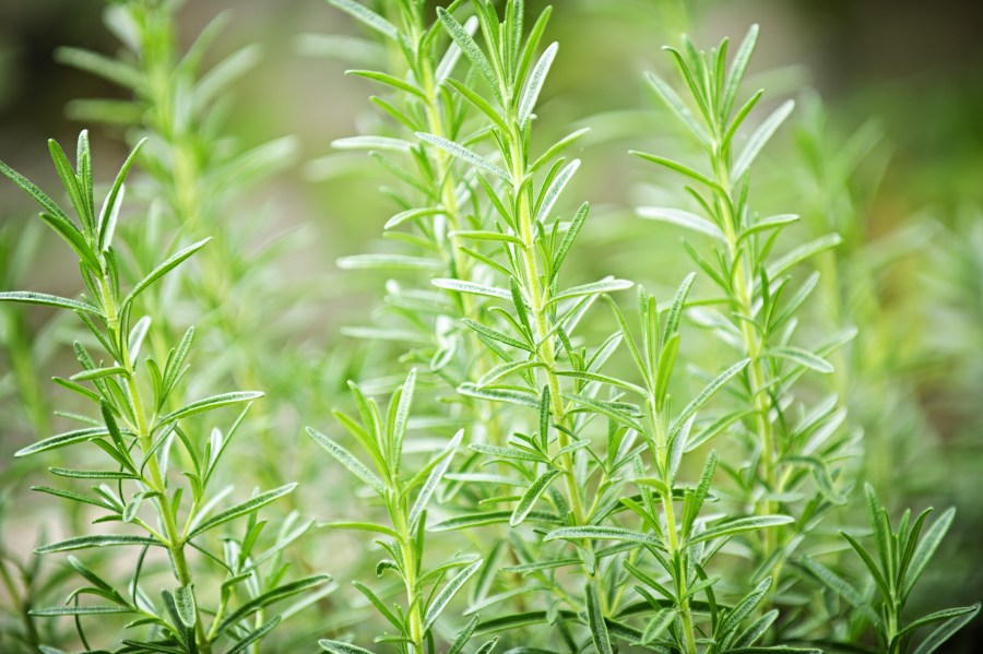Fresh green rosemary herbs growing in garden